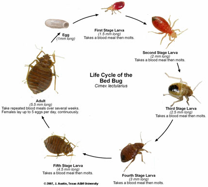 Bed Bugs Professional Pest Management