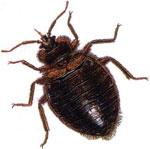 images-bedbug