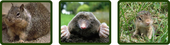 images-burrowing_rodents