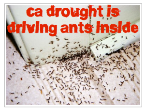 California Drought is Driving Ants Inside