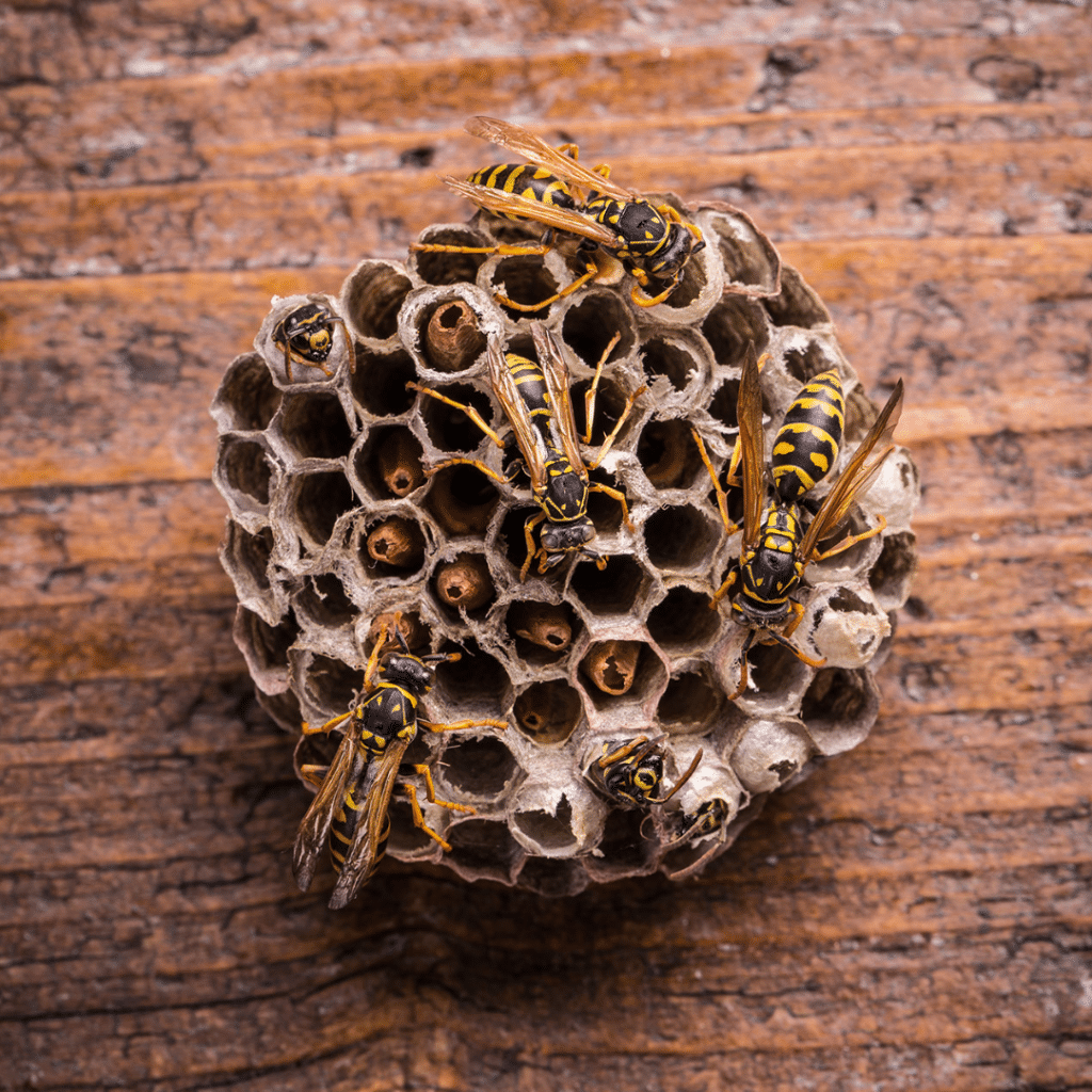 Wasps in a Comb